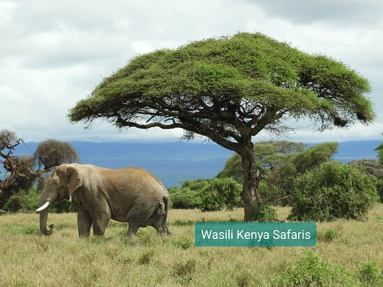 Amboseli National Park, Kenya: The African elephant