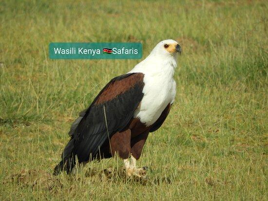 Amboseli National Park, Kenya: Fish eagle