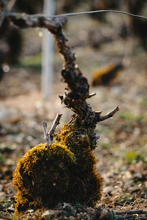 Old vines Pinot Noir give the best expression of the terroir of Les Riceys [Lay Reesay]
