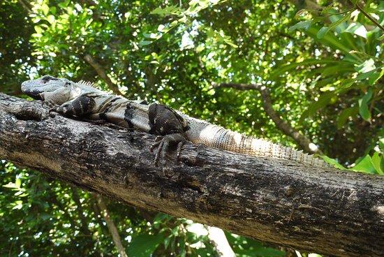 Mexiko: Iguana, Viva Wyndham Maya, Playa del Carmen