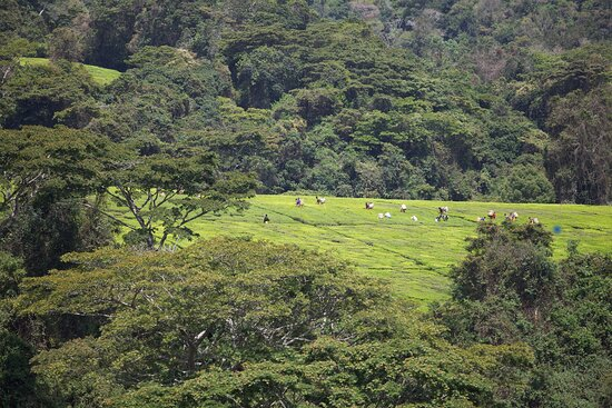 Mafinga, Tanzania: Learn how tea is made, by observing the tea picking process.