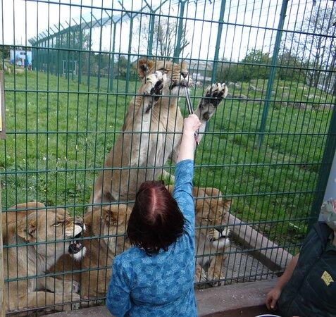 My Birthday present feed the lions. Brilliant.