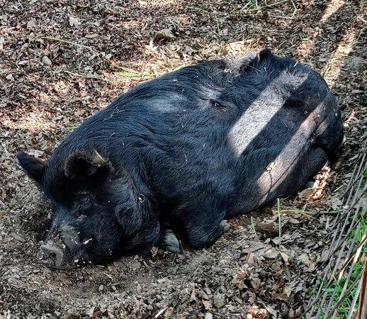 Rare Mulefoot hog.