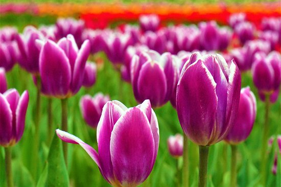 Yubetsu-cho, Japan: Kamiyubetsu Tulipu park (2)