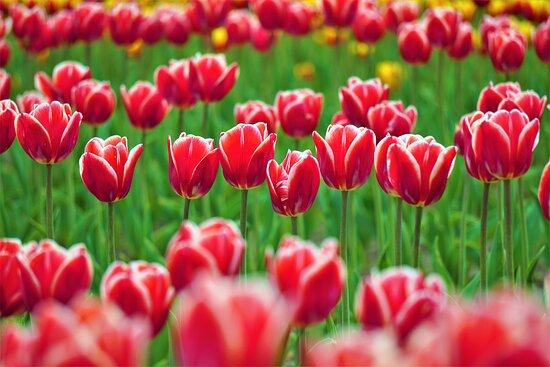 Yubetsu-cho, Japan: Kamiyubetsu Tulip park (3)