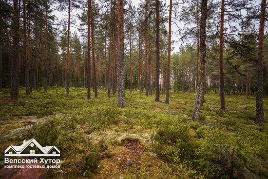 Вековой еловый лес около комплекса