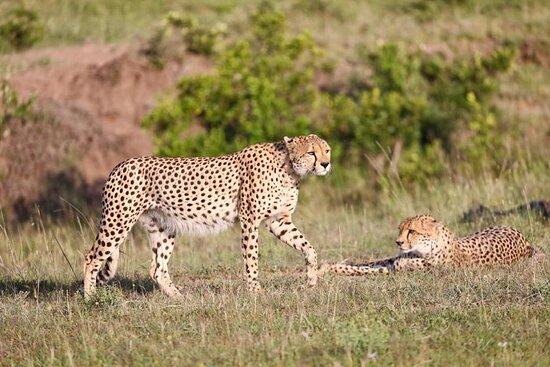 Maasai Mara National Reserve, Kenya: cats playing in Masai Mara