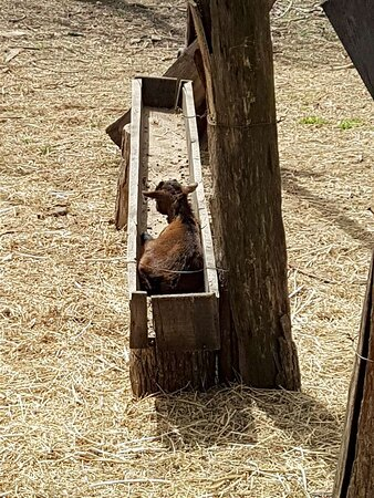 A baby Cameroon goat