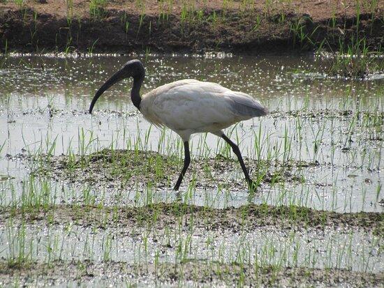 Koonthakulam, الهند: birds