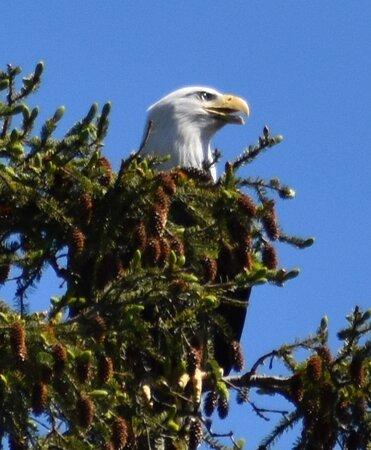 Ketchikan Kayak Eco-Tour: Eagle