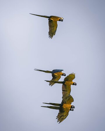 The blue-yellow macaw