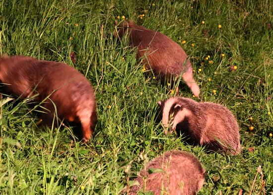 Badgers 'spooked'!