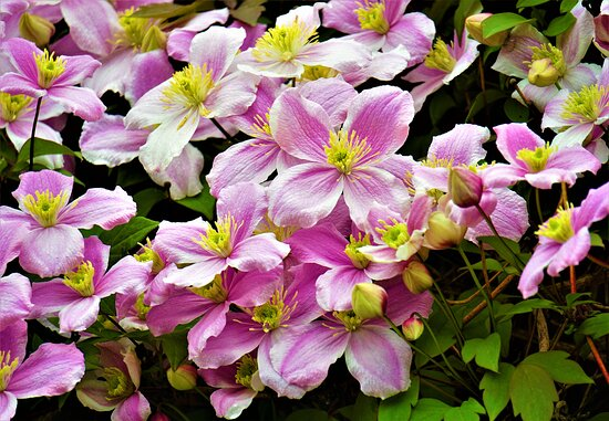 Abira-cho, Japan: Clematis on the roadside (2)