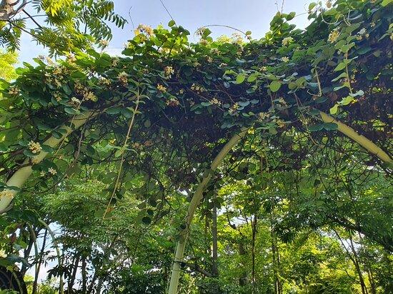 Climbing frangipani