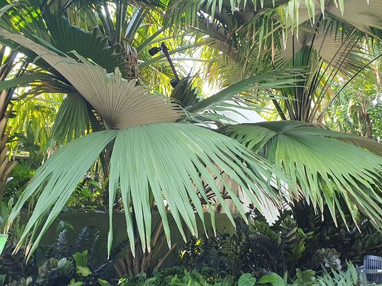 White Elephant Palm