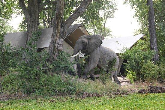 Mana Pools National Park, Zimbabwe: Elephant at Camp Ingwe