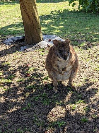 Sawtry, UK: Wallaby