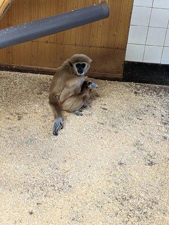 Sawtry, UK: Gibbon