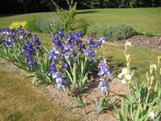 Collection d'Iris parc du chateau de Morchene