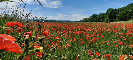 Lugnorre, Schweiz: Mohnfeld
