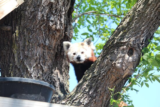 Freeport, Minnesota: Up close with a cute red panda