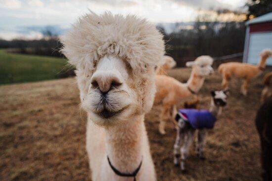 Purple Alpaca Farms