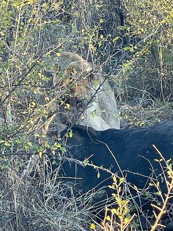 Zeerust, דרום אפריקה: Junior lion eating on water buffalo.