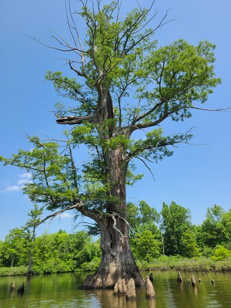 Belknap, IL: Cypress tree