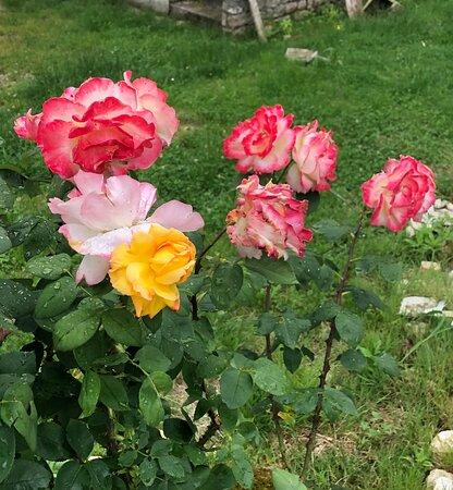 Macari, Italien: ROSE 🥀 dai petali multicolore !!