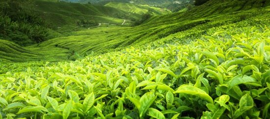 Ceylon teas contain higher levels of potassium when compared with tea grown in other regions. (1) Potassium is extremely important for the health of your body, especially your heart as it relaxes your veins and arteries. This reduces your blood pressure and reduces the strain on your heart.