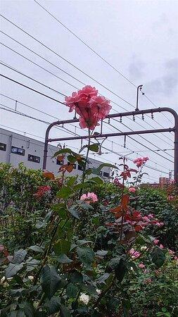 Suginami, Nhật Bản: 杉並区清掃工場の外から、ばらが咲いているので、みてみました。 赤や🟡、ビンクなどがきれいに、ならんでいました。