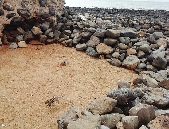 Caleta de Fuste, España: veverky na pláži