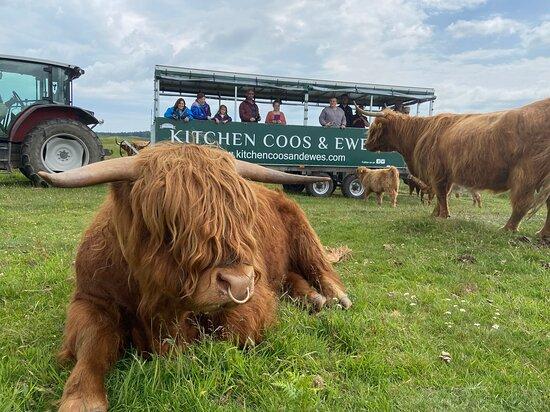 Kitchen Coos & Ewes