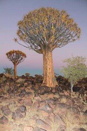 Quiver tree Forest in the South of Namibia