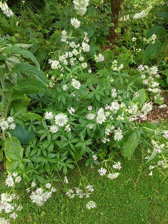 Astrantia masterwort plant