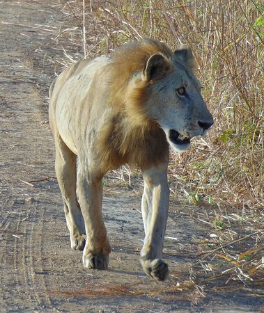 Private Full-Day Trip to Mikumi National Park from Dar es Salaam: The lions were on the road right next to the car!
