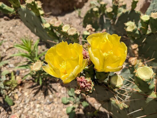Gorgeous prickly pear blooms