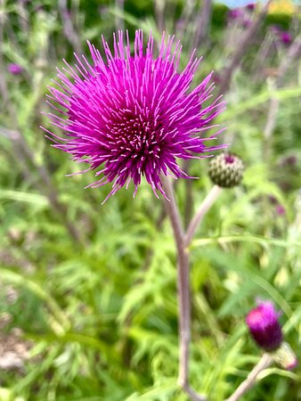 TAE A THISTLE : Tae Scots yer mair than jist a flower, Yer a symbol o' great strength an'  power, Wrapped in shades o' purple an' green, Yer the bonniest flower this land has seen. / Some folk say that yer jist a weed, But we Scots ken yer a mighty breed. Yer delicate yet strong an' bold, An' worth mair tae us than silver or gold. / Aye yer loved by Scottish hearts, An' ye always wur right fae the start, Wi' yer purple heeds and yer spiny stems, Yer the richest o' all oor Scottish gems.- R.Burns