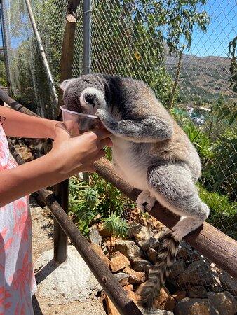 Lemuren füttern