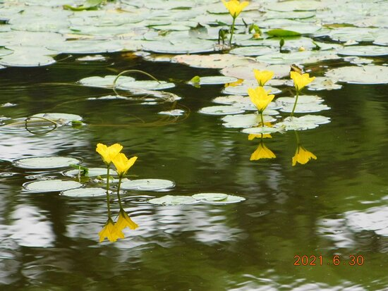 二の丸池のコウホネ 2021年6月30日撮影