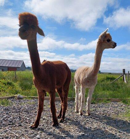 Alpacan - Alpacas of the Outer Hebrides