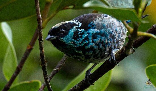 Beryl-spangled Tanager - Tangara nigroviridis - Tangara de Lentejuelas - Bogota Birding -  Colombia Birdwatching