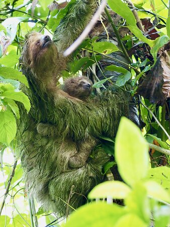 A sloth and her baby
