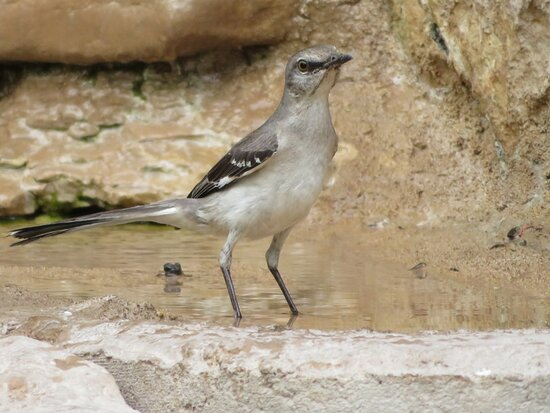 Mockingbird. South Llano River State Park. Junction, TX, May 2021
