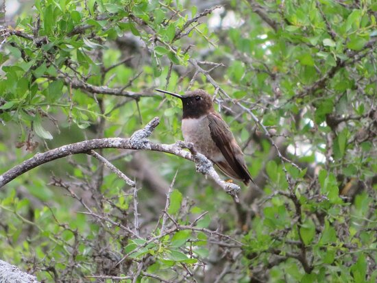 Black Chinned Hummingbird. South Llano River State Park. Junction, TX, May 2021
