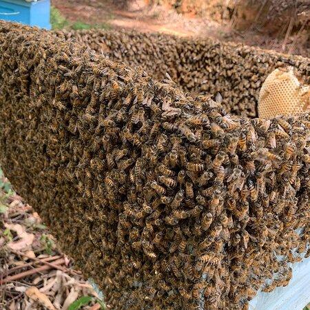 Mais de 80.000mil abelhas