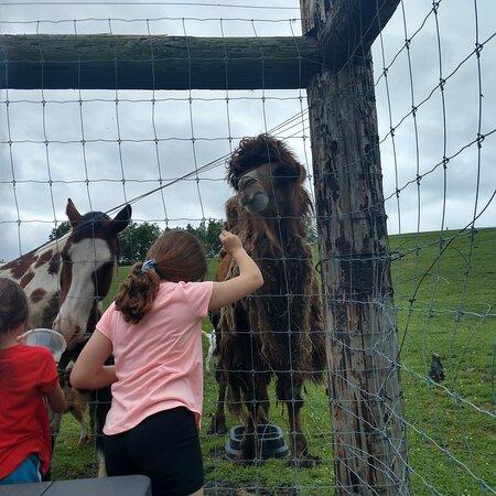 Feeding the 🐪🐪🐪🐪 camel