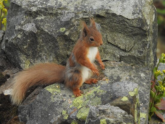 Red squirrel visiting our balcony!