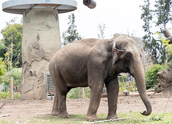 San Diego Zoo 1-Day Pass Ticket, No Reservations Required!: elefante