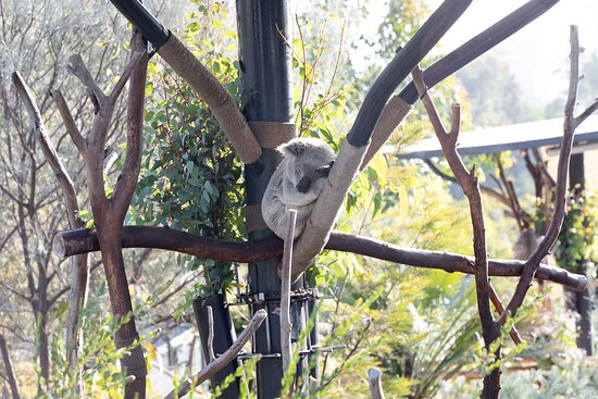 San Diego Zoo 1-Day Pass Ticket, No Reservations Required!: koala